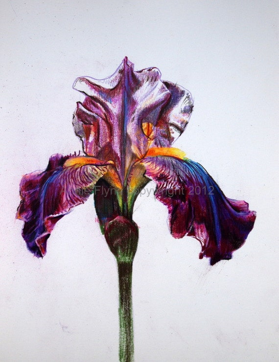 Iris in Lilac and Magenta