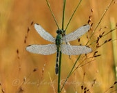 Dragonfly in Morning Dew, green and gold jewel tones, nature photography
