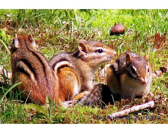 Chipmunks Photograph - Nature and Wildlife Photography