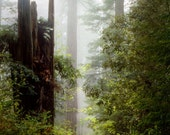California Redwoods Landscape Photograph 8x12 or 8x10 Crop Foggy Forest Color Print