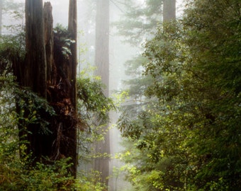 Redwood Trees Landscape Photograph - California Redwoods Landscape Photograph, Foggy Forest Color Art Print