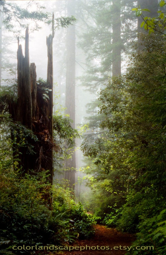 Landscaping With Redwood Trees : Redwood trees landscape photograph california redwoods
