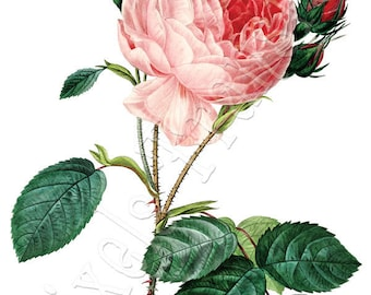 PINK ROSE Instant Download wedding clipart Image Digital Download, english rose Redoute 033