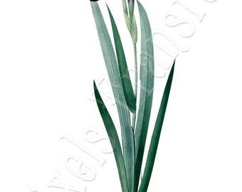 IRIS Instant Download blue flag botanical illustration wedding clipart Redoute 064