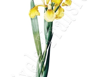 YELLOW IRISES Instant Download wedding clipart botanical illustration Redoute 067