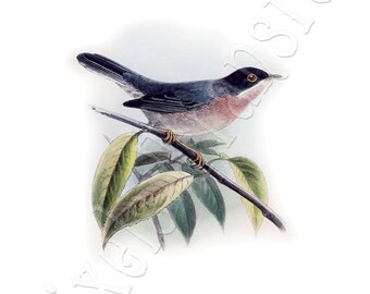 BIRDS Instant Download Digital Download, warbler vintage illustration 075