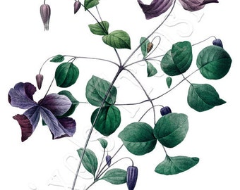 CLEMATIS Instant Download wedding clipart purple flowers botanical illustrations Redoute 098