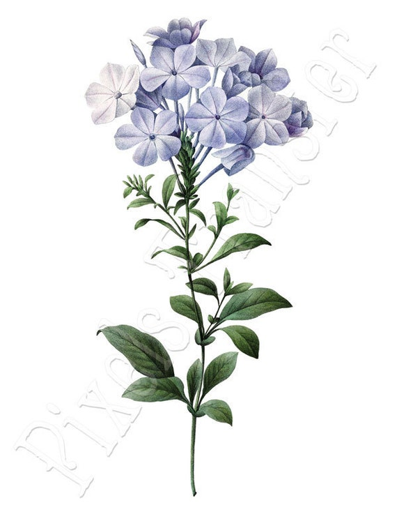 BLUE FLOWERS of plumbago Instant Download botanical illustrations Redoute 105
