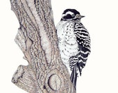 Nutall's Woodpecker  (Limited Edition Giclee Print)