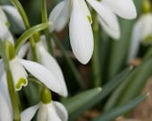 Snowdrops - Photo Greeting Card