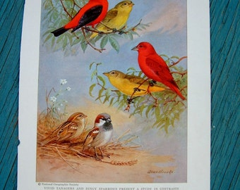 Vintage Bird Print Tanager & Sparrow Bird Art Print by Allan Brooks National Geographic Yellow Red Bird Art Naturalist Print Audubon Decor