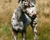 Appaloosa foal baby horse Little Spotted One giclee 9x14 panoramic photographic print