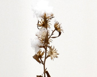 Fine Art Botanical Photograph Winter Prairie Bloom Snow Flower Sepia Brown Minimalist Nature