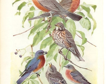 1936 Bird Print - Plates 105 & 106 - Robin and Bluebird - Vintage Antique Art Illustration by Louis Agassiz Fuertes 75 Years Old