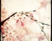 Sakura - 8x8 Fine Art Print - TTV - Nature Photography - TFTeam