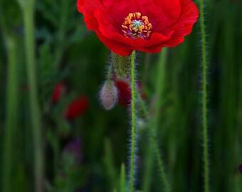 Fine Art Photograph - Red Poppy
