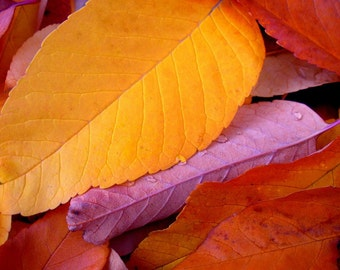 Fall Leaves Bold Color Autumn Bright Raindrops Gold Rusty Orange Nature Cabin Lodge Rustic Photography