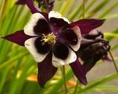 Magpie Columbine Seeds (Aquilegia vulgaris)