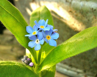 Chinese Forget-Me-Not 'Firmament' Seeds (Cynoglossum amabile 'Firmament')