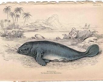 1833 MANATEE ANTIQUE ENGRAVING -  original antique print - Jardine sea life hand colored engraving