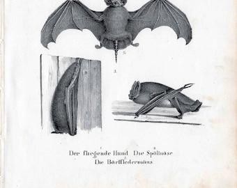 182 ANTIQUE BATS LITHOGRAPH original antique chiroptera bat print