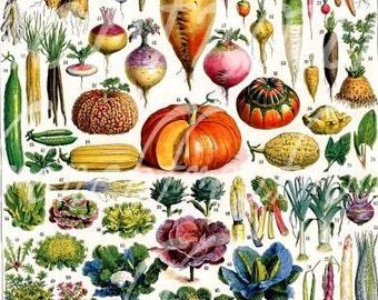 antique french botanical illustration vegetables pumpkin cabbage turnip digital download