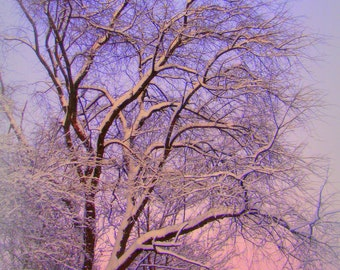 "Christmas photography of trees, lavender, blue, evening sky, black tree branches, winter decor,  5"" x 7"" fine art"