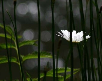 Poem Deep Thoughts of Spring - Daisy Flowers Fine Art - Spring Trying to Break out of Winter - 8x12 giclee Photograph