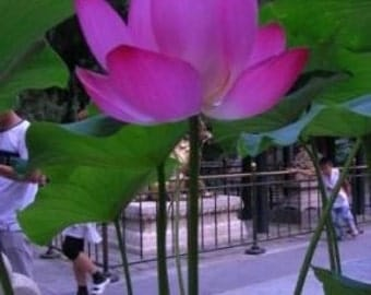 Chinese LOTUS PHOTOGRAPH taken in Beijing 2008