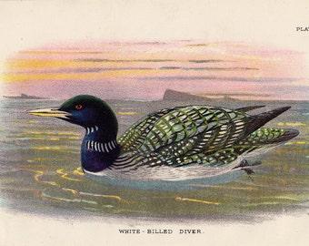1897 Original Antique BIRD print, White-billed Diver, sea bird