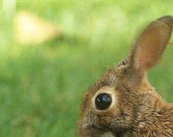 Scary Bunny  or Attack Rabbit Fine Art Photo