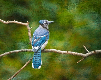 Blue Jay Bird sitting on a Tree Branch in West Michigan No.0106 - A Fine Art Bird Nature Photograph