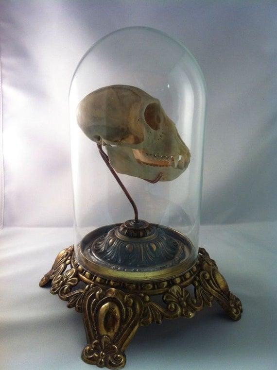 Real African Vervet Monkey Skull Under Glass Dome