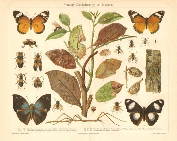 1904 Mimicry of Insects Original Antique Chromolithograph to Frame