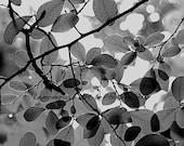 Sunshine Filtering Through Leaves, Black & White Metallic Finish Print, 6x9 + More Sizes, Trees, Leaf, Nature