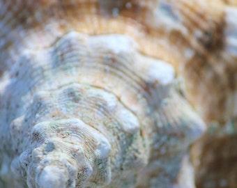 Cream Seashell Photography Art Print