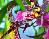 Miltassia Shelob Tolkien Orchid III 5X7 Photograph 40% Off