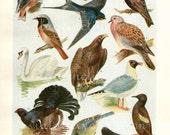 Antique art print, British Birds, Bird print, 1933, vintage, art print Illustration, birds, paper, decor, wall, bird art