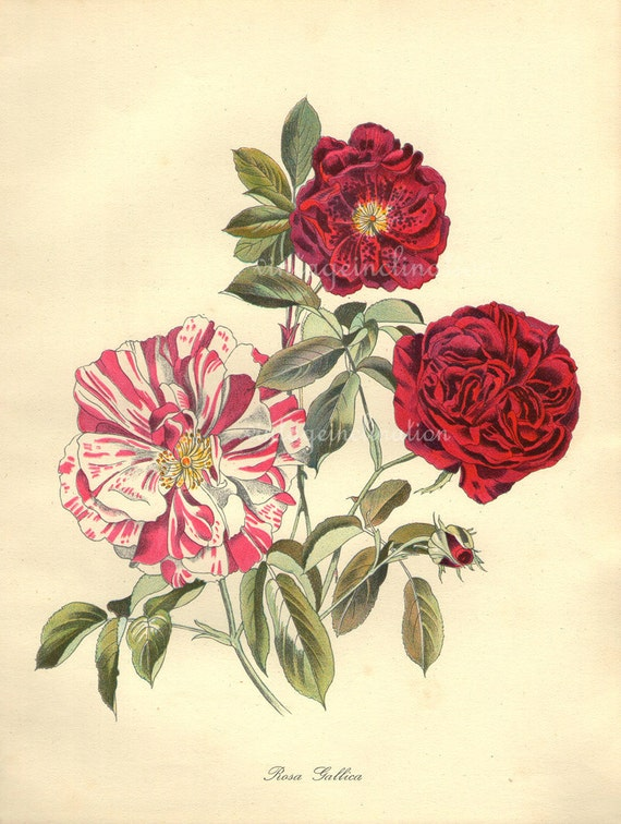 Vintage Botanical Flower Print, 1940s ROSA GALLICA rose, color lithograph Home Decor, art plate 64 years old perfect to frame