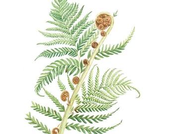 A4 Print Australian tree fern, Cyathea cooperi.