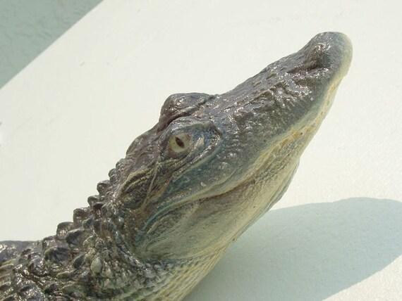 American Alligator 3-4ft: (Alligator mississippiensis) 16 x 5 x 39 in