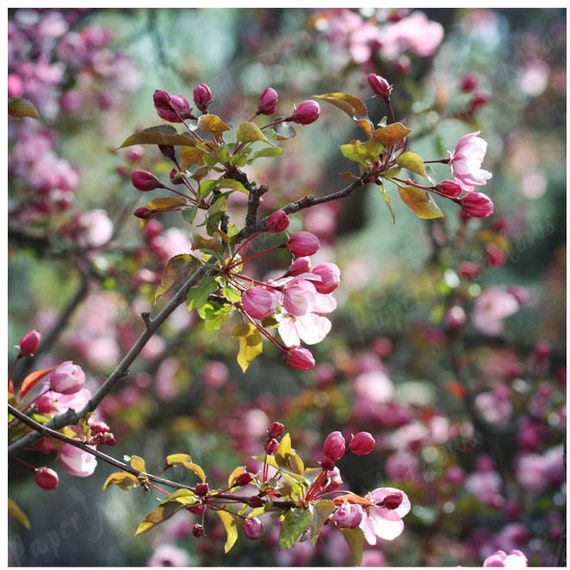 Flower Photography Download, Apple Tree, Bloom, Photo Art Photography Download, 8x8 inch, PINK