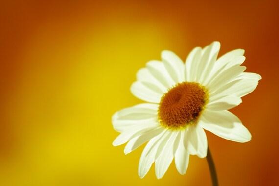 Fine Art Photography, Daisy Flower Photography, Orange Yellow Bright Macro Photography, Fina Art Print, Home Decor, Sun, 8x10, 8x12, 11x14