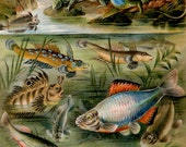 1897 Antique print of FRESHWATER FISHES, REPTILES, Newts, river life. Natural History. 120 years old gorgeous lithograph.
