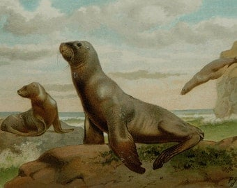 1894 Antique lithograph of a SEA LION. Seals. Marine Mammals. 123 years old lithograph