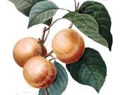 APRICOT Instant Download Large Digital Image Transfer botanical illustration summer fall Redoute 088