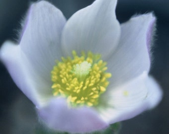 Spring Pasqueflower Wildflower Delicate Blue Springtime Rustic Cabin Lodge Photograph