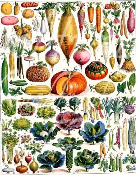antique french botanical illustration vegetables pumpkin cabbage turnip digital download
