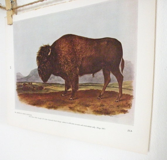 Vintage Print Audubon American Bison Buffalo Color Art Print Illustration Prairie Wildlife Natural History Neutral Browns and Green