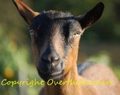 Animal Photography Goat Greeting Card Goat Photograph Oh What a Happy Goat She is Smiling for You